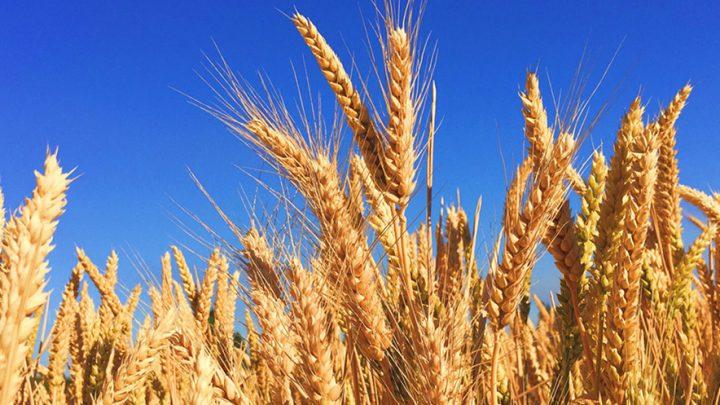Pronunciamiento contra el trigo transgénico